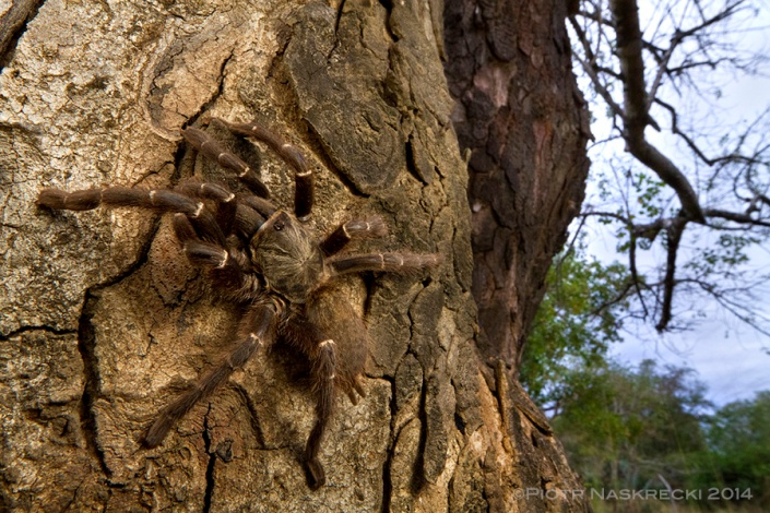 Tarantulas, known in southern Africa as baboon spiders, may look frightening but are generally harmless. Their main line of defense is not their venom, but tiny urticating hairs that cover the entire body.