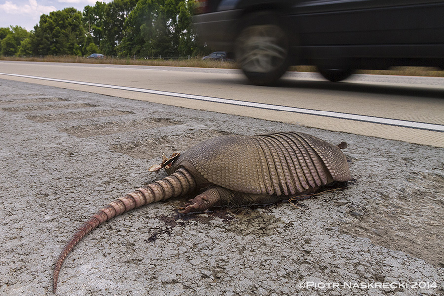 I wish I could have spent more time in Georgia – it would have been nice to see armadillos in a form other than flattened pancakes on the highway. On my drive from Savannah to Atlanta I counted 27 carcasses of these animals killed by cars.