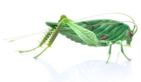 Glass_katydid