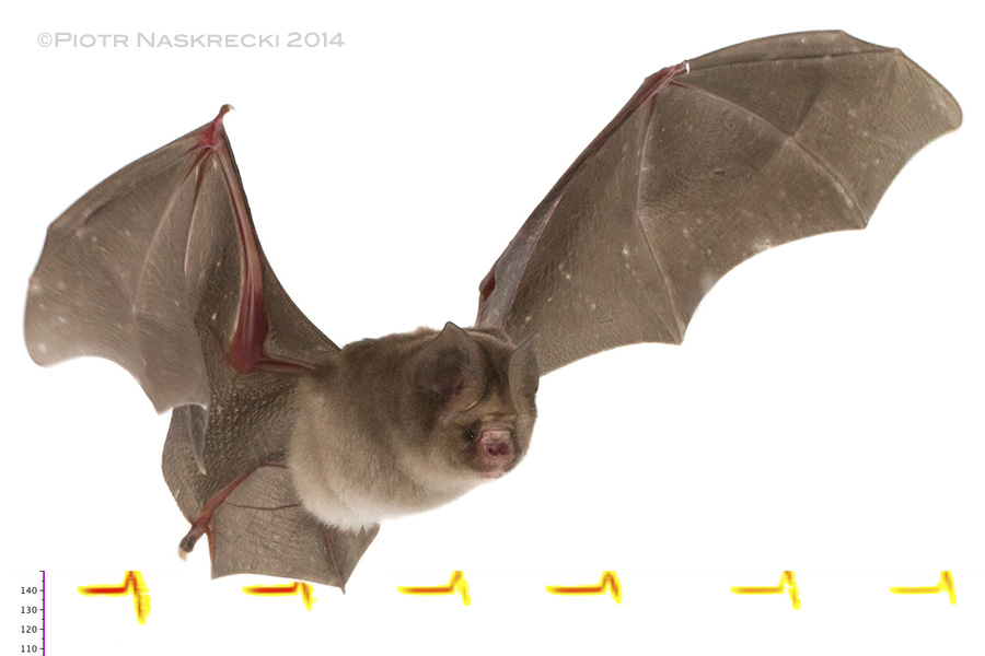 Leaf-nosed bat (Hipposideros caffer) from Gorongosa and a sonogram of its echolocation.