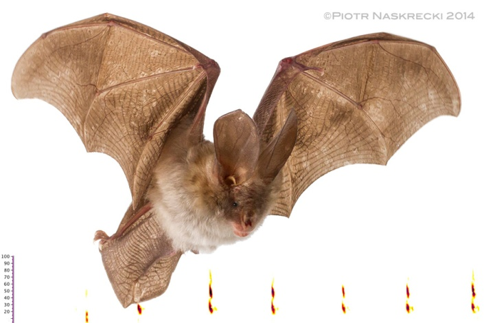 Slit-faced bat (Nycteris cf. thebaica) from Gorongosa and a sonogram of its echolocation.