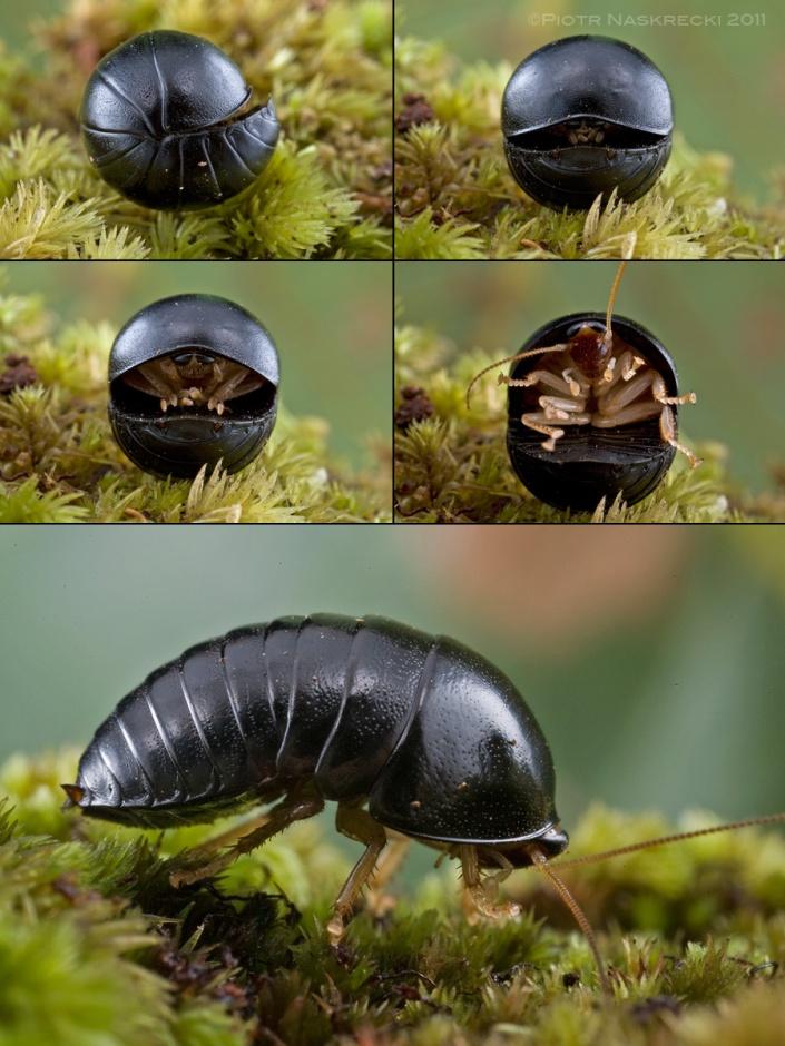 A female ball blattodean (Perisphaerus lunatus) from northern Cambodia begins to unfurl to reveal long, powerful legs.