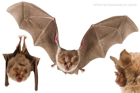 A grey form of the Horseshoe bat (Rhinolophus landeri) from Gorongosa