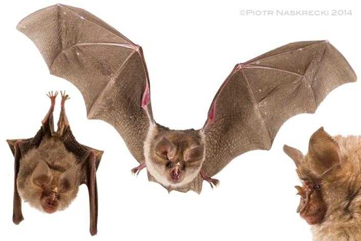 A grey form of the Horseshoe bat (Rhinolophus landeri) from Gorongosa