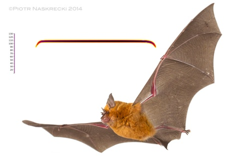 An orange form of a Horseshoe bat (Rhinolophus landeri) from Gorongosa and a sonogram of its echolocation.