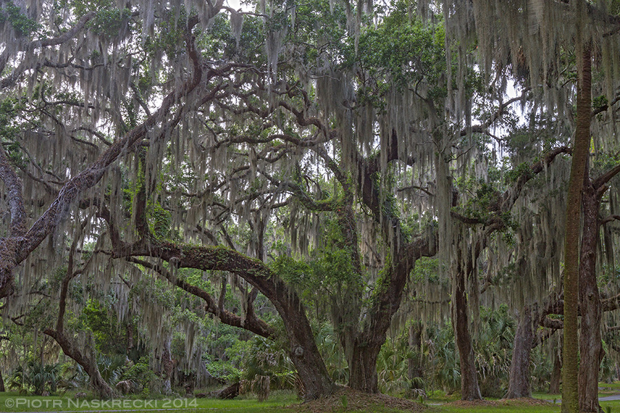 Warm, humid, and festooned with Spanish moss, the oak forest of Sapelo Island, GA, is an ideal habitat for the Zoraptera.
