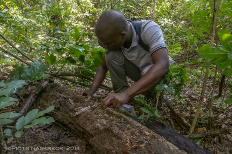 My assistant Ricardo Guta looking for insects and other animals in the habitat of the Gorongosa amphisbaenian.
