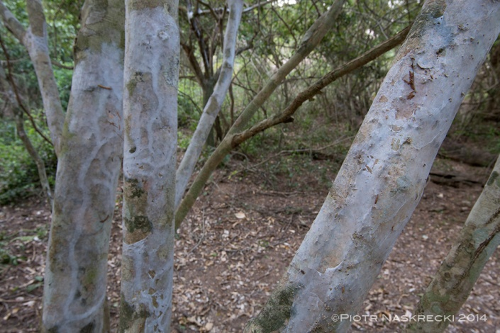 Silken galleries of webspinners covering trees in the Sand Forest of Gorongosa.