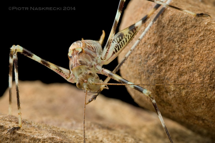 A cave katydid cleaning his foot; their tarsi are incredibly sticky, allowing these insects to walk upside down on the smooth celing of their cave.