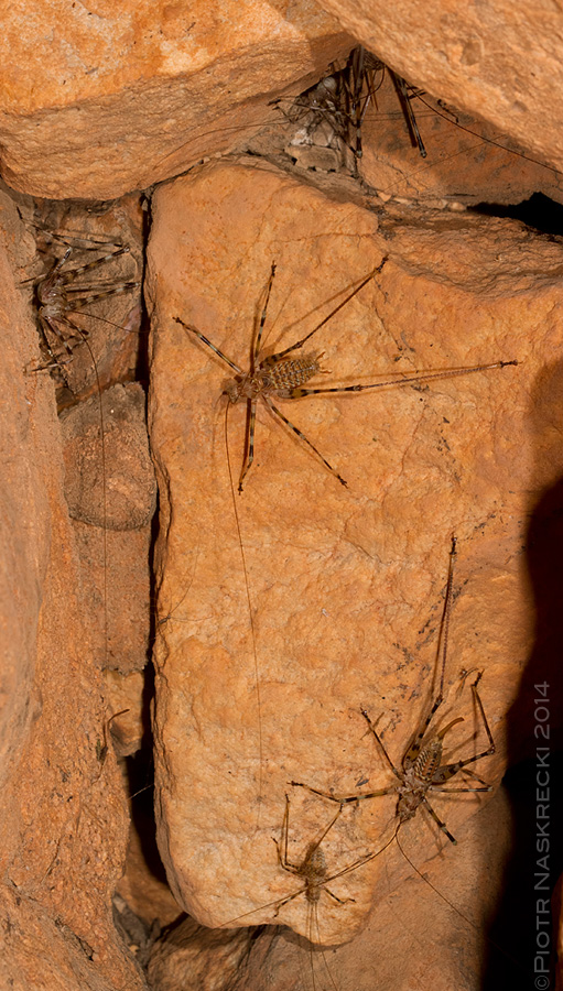 Cave katydids are gregarious, found in multi-aged groups of 20-30 individuals.
