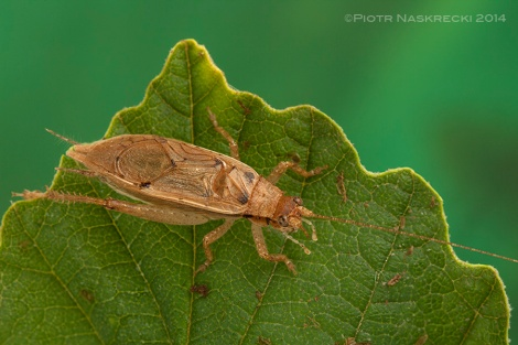 A male Jumping Bush Cricket (Orocharis saltator).
