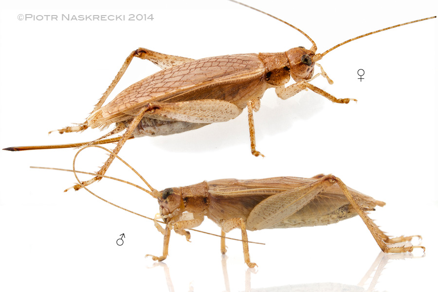 A pair of Jumping Bush Crickets (Orocharis saltator) from Massachusetts. Females have long, needle-like ovipositors, which they use to lay eggs deep into the stems of plants.