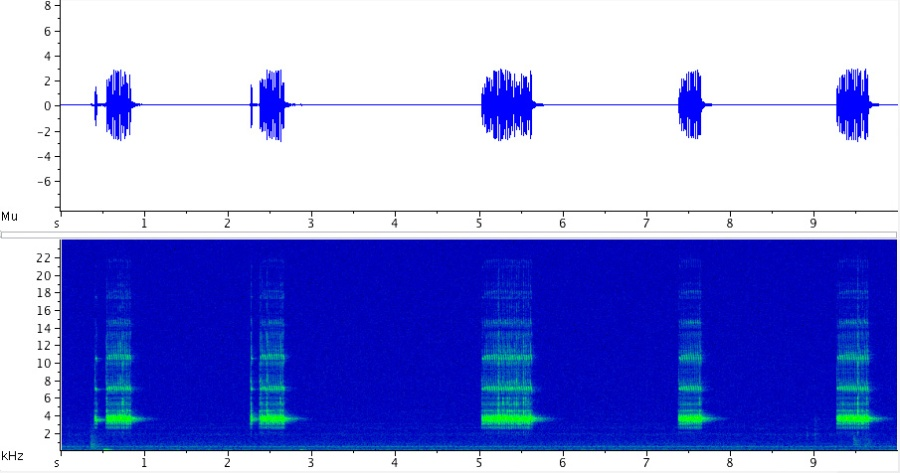 Sonogram of the Jumping Bush Cricket (Orocharis saltator); click here to listen to the recording.
