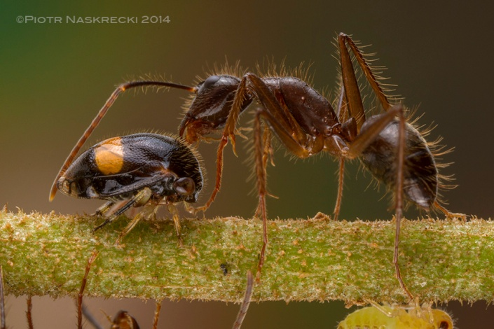 An ant can elicit the production of a droplet of honeydew by gently stroking the treehopper (Harmonides sp.) with her antennae.