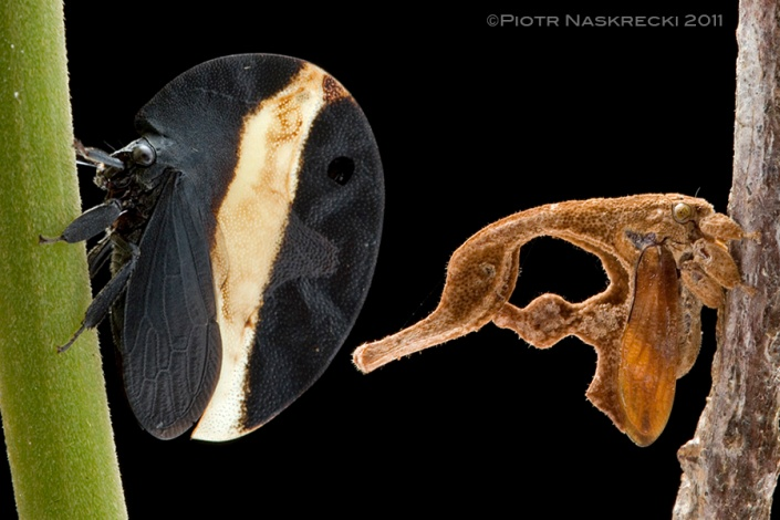 Two extreme examples of treehopper morphology – Membracis zonata, showing disruptive coloration that conceals the fact of being an insect, and Cladonota ridicula, a perfect imitator of a dead speck of vegetation.