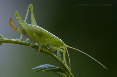 The Endangered Katydid (Paracilacris periclitatus) – this species may already be extinct due to the loss of its habitat, but we know of its existence because I collected a few individuals and described the species.