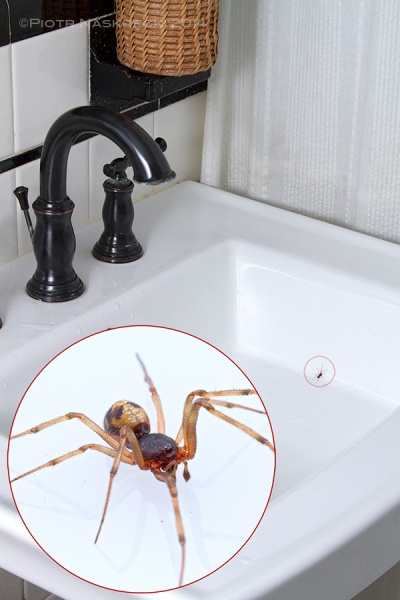 Spider_in_sink