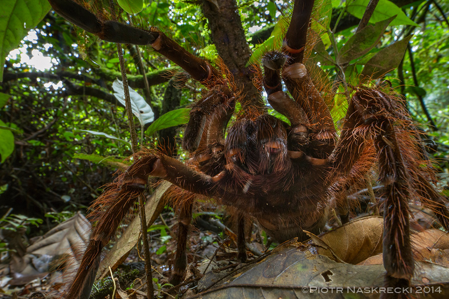 Goliath birdeater (Theraphosa blondi) from Suriname, displaying the full arsenal of its defenses – urticating hair, enormous fangs, and a loud hissing noise.