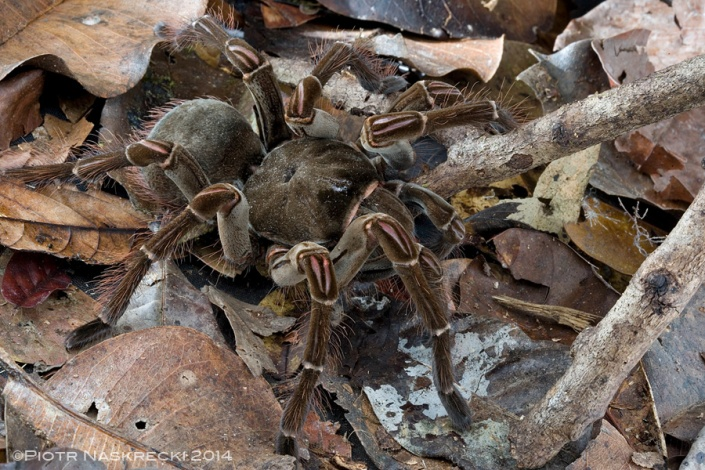 A Goliath birdeater from Guyana, the first individual of this species that I ever encountered. Her opisthosoma (abdomen) is nearly bold because most of the urticating hairs ended up in my eyes and mucus membranes –now I know better than to put my face too close to these animals.