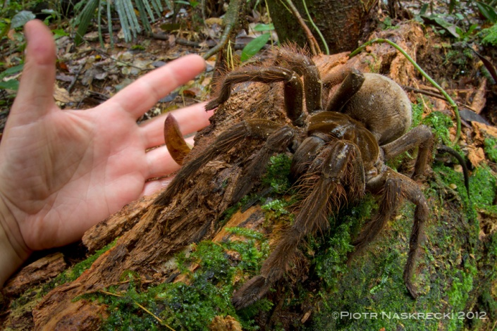 With the leg span of nearly 30 cm, the Goliath birdeater is an animal that should be treated with respect, even though it is pretty much harmless to humans.