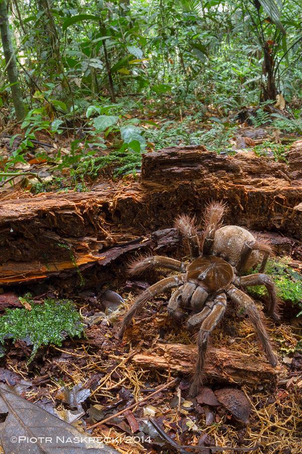 Goliath birdeater in its natural habitat in Suriname.