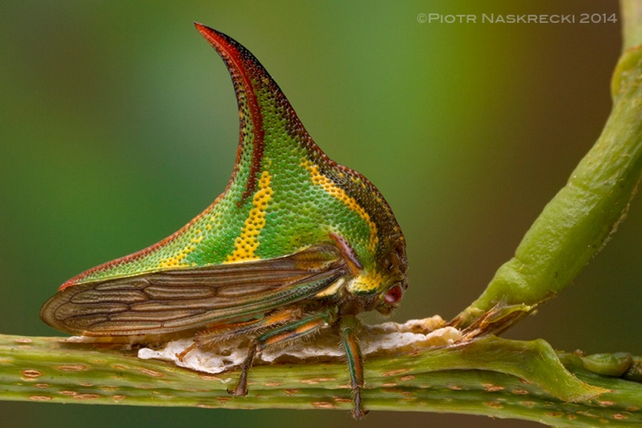 Treehoppers are excellent parents – this female Thorn treehopper (Umbonia sp.) is shielding her eggs with her body; if necessary she can also use her powerful legs to kick potential predators.