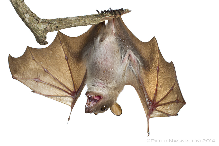 Wahlberg's epauletted fruit bat (Epomophorus wahlbergi) from Gorongosa National Park in Mozambique