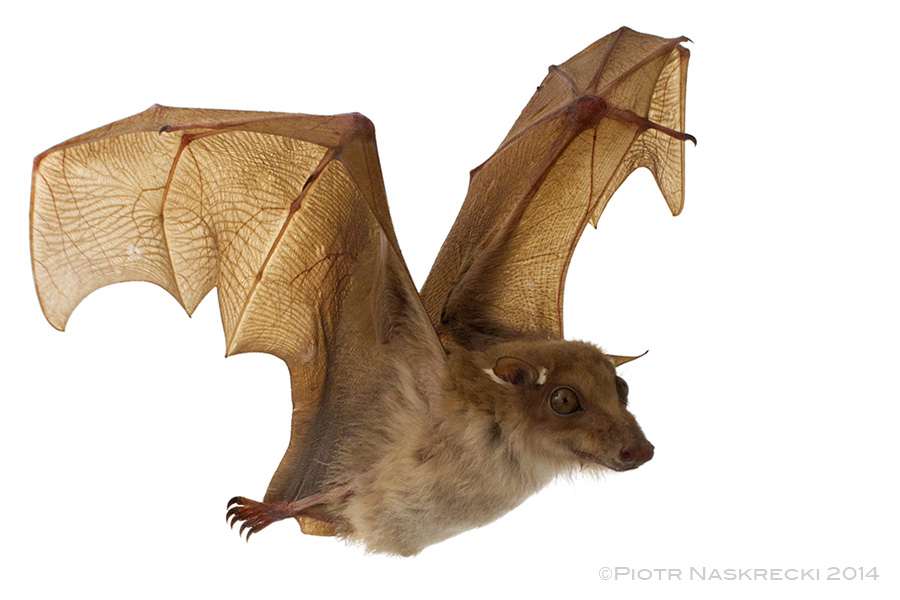 how to get ebola from bats