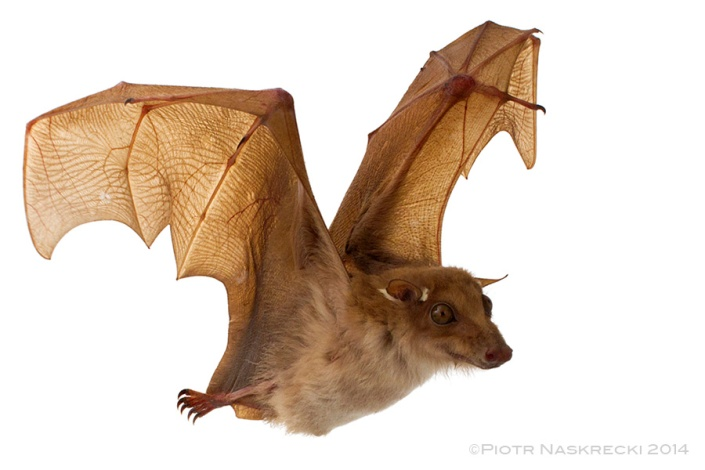Peters's epauletted fruit bat (Epomophorus crypturus) from Gorongosa National Park