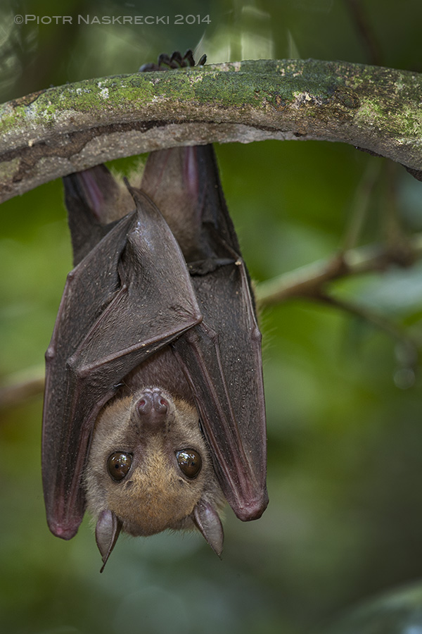 African Bats: Conservation in the Time of Ebola – The ...