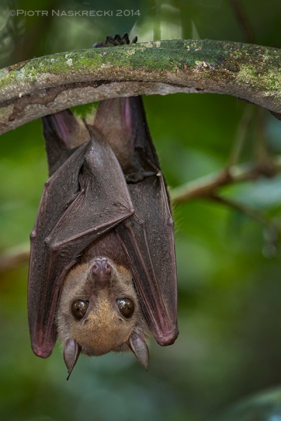 Little collared fruit bat (Myonycteris torquata) from Ghana, a species implicated in harboring the Ebola virus.