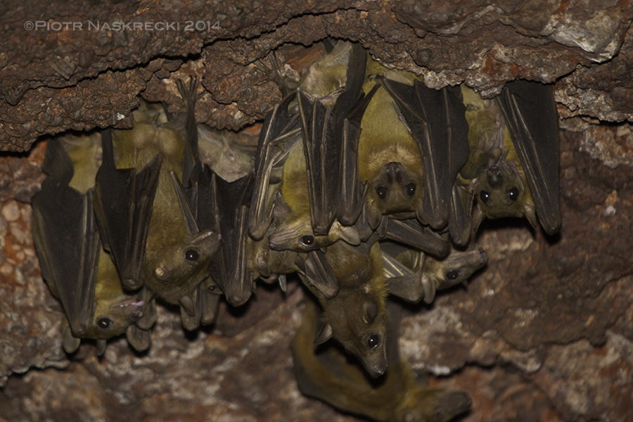 A colony of Egyptian fruit bats (Rousettus aegyptiacus) from Nzerekore, Guinea, where many people have recently died of Ebola. This species has also been suspected of being the virus' carrier. But this photo may be the proof of the bats' innocence – despite spending several hours in the bats' company and digging through their guano I have never become sick (PN).
