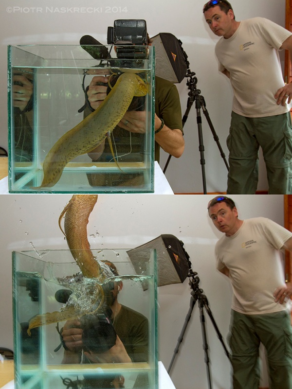 I have my first encounter with the African lungfish. This animal appears to be more resourceful than I ever suspected. Here a PBS cameraman John Benam and producer James Byrne witness its amazing ability to escape.