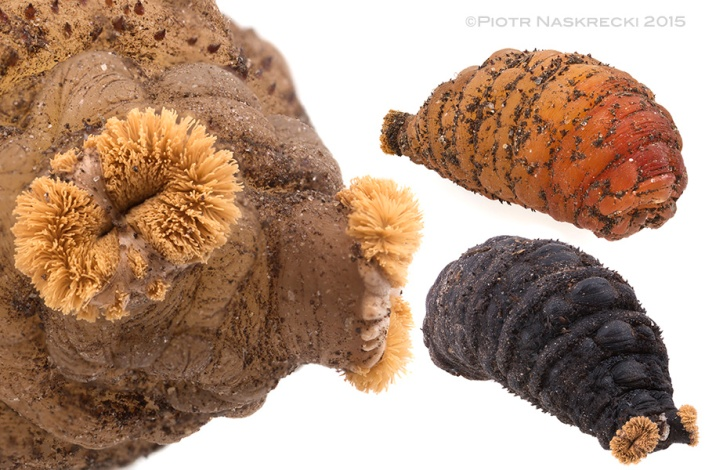 The puparium of the Human bot fly. The tufts on the front of the body are anterior spiracles that allow the animal to breathe when it matures in this stage underground. As the puparium ages it changes color from light brown to black. Remarkably, the spiracles stay the same, orange color.