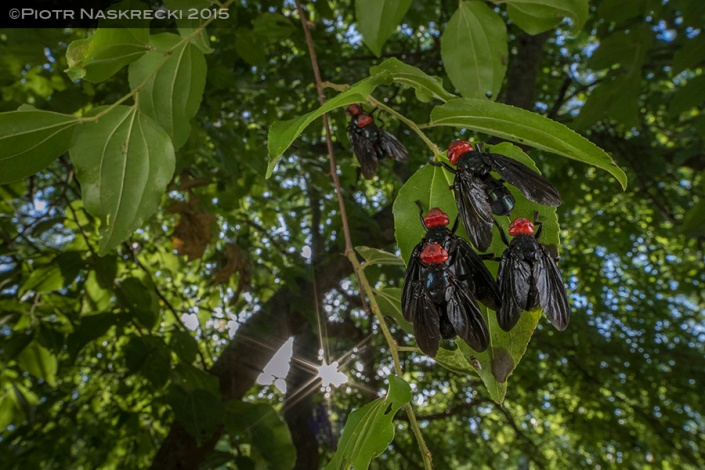 Red-headed flies, which in Mozambique emerge at the end of the rainy season, like to hang in clusters on leaves.