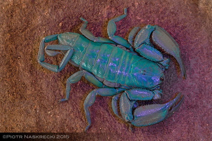 Like many scorpions, members of the genus Hadogenes display a beautiful, blue fluorescence if exposed to ultraviolet light. A recent study suggests that this helps these nocturnal animals detect and avoid light.