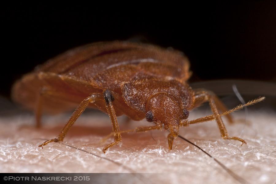 Bed bug (Cimex lectularius) feeding on my blood.