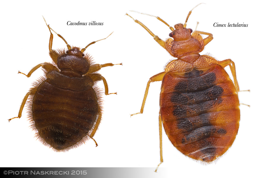 All members of the family Cimicidae have a similar morphology, and all are obligate hemophages of mammals and birds.