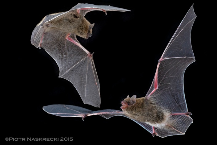 Bats of the family Vespertilionidae, such as this Neoromicia nana, are frequent hosts of bat bugs, possibly because of these mammals' low hematocrit, which makes drinking of their blood easier for parasites.