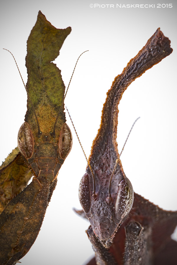 No two individuals of ghost mantids are alike, which prevents their principal predators, birds and primates, from learning how to tell them apart from real leaves.