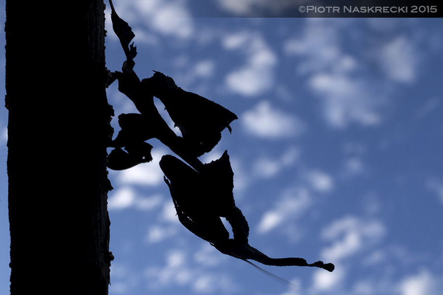 A silhouette of the first ghost mantis recorded from Gorongosa National Park in Mozambique.