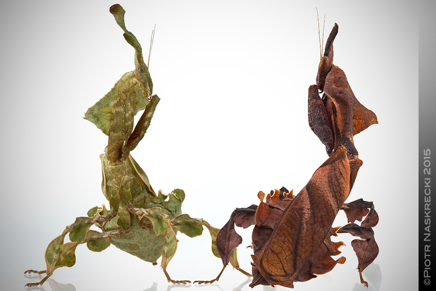Ghost mantids are extremely polymorphic in both their coloration and the shape of the strange processes on their heads.