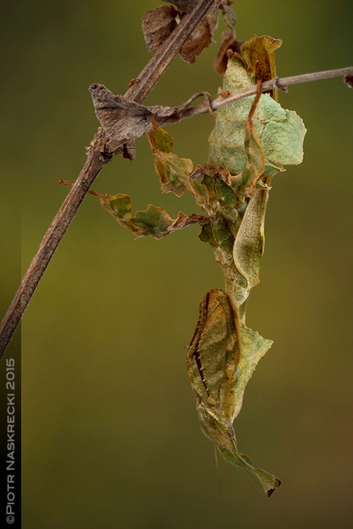 A female ghost mantis (Phyllocrania paradoxa) – these insects are such superb mimimcs of dry vegetation that it is often difficult to tell which part belongs to the plant and which to the insect.